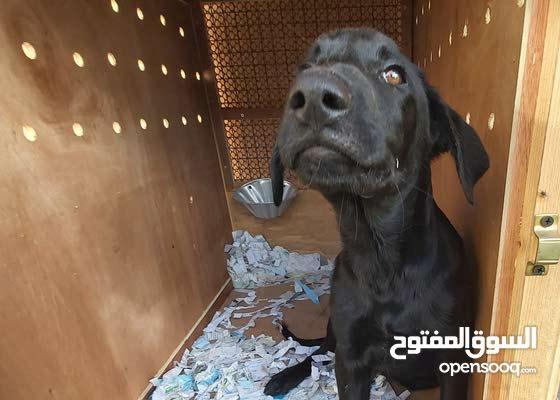 كلب ذكر مكس