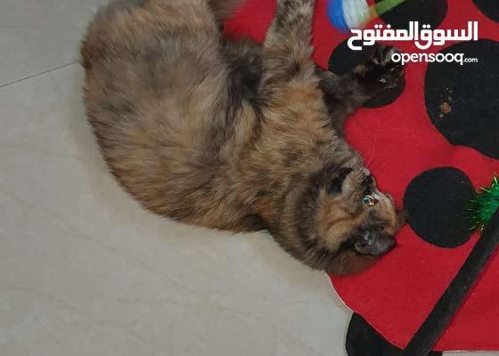 قطة مكس هملايا شيرازي للبيع