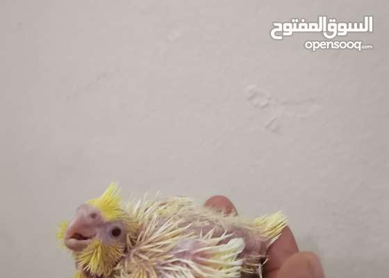 cockatiel chick / فرخ كوكتيل