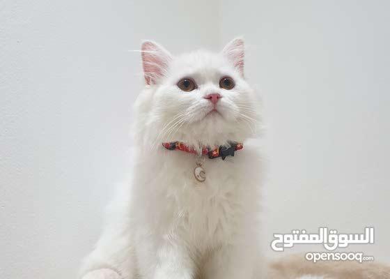 قطه انثى - شيرازيه بيور 100% - العمر 3.5 شهور
