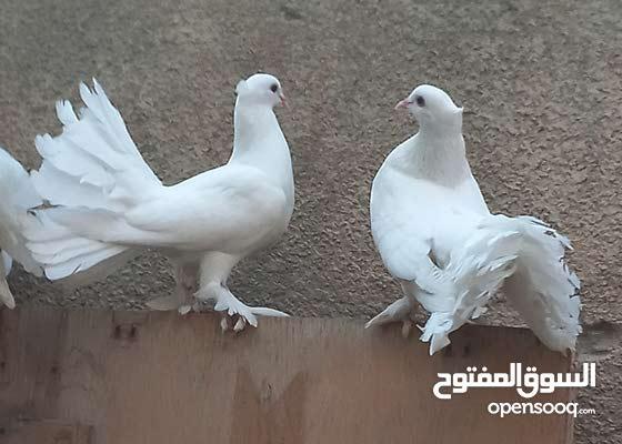 حمام رواعب+ عرايس