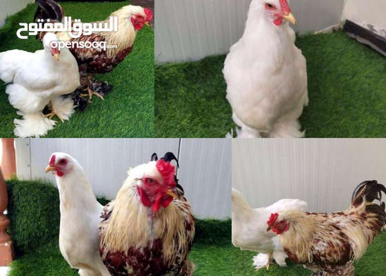 دجاج براهما وكوشن العملاق