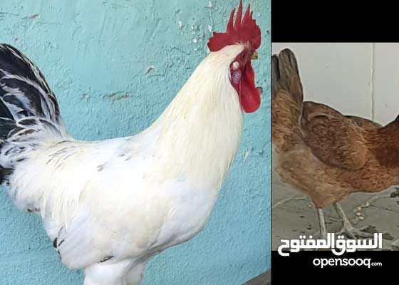 Two chicken for sale