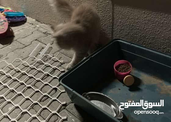 قطط  فرو