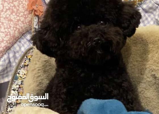 toy black poodle