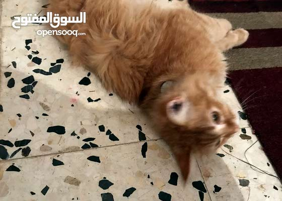 قط فارسي للبيع