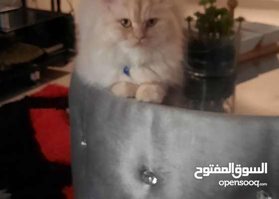 قطط شيرازي بعدهم ما ظهرو للحجز رقم التواصل بالواتس تحت