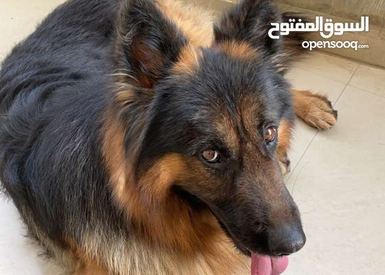 german shepherd long hair male very high quality