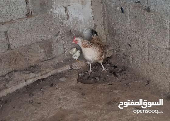 دجاجة مفقصة