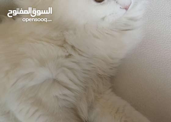 sherazy cat full white قطه شيرازيه الون ابيض