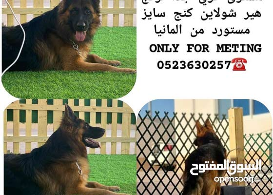 German Shepard for mating only
