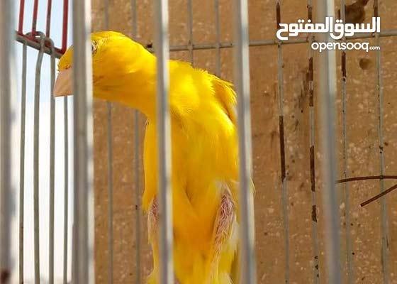 طيور كناو او دينار