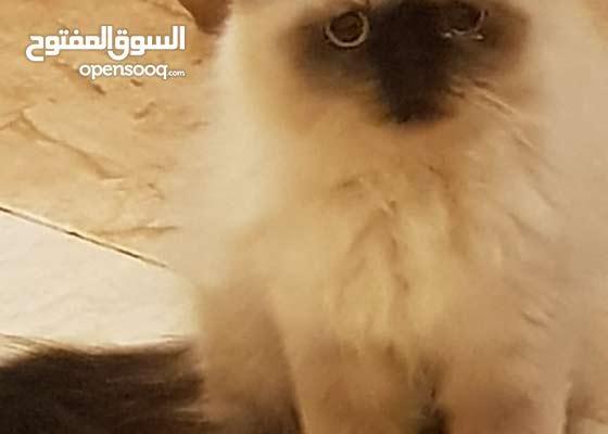 قط هاف بيكي هيمالايا