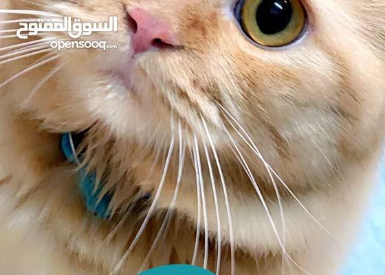 قط شيرازي فارسي للبيع