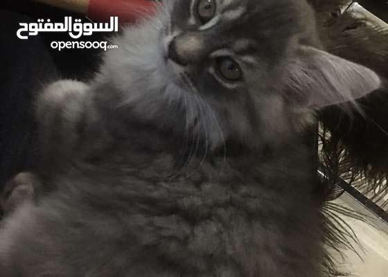 قطط للبيع cats for sale