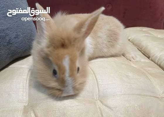 Mini Lion Head Rabbit