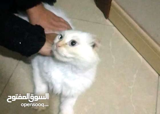 White cat for sale