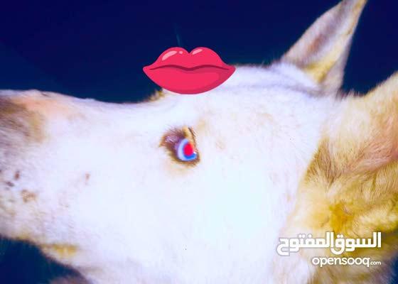 كلب هاسكي بيور لون ابيض العمر ست شهور ذكر او للبدل