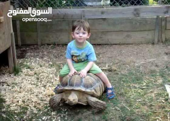 sulcata tortoise  (land turtle) سلاحف سولكاتا