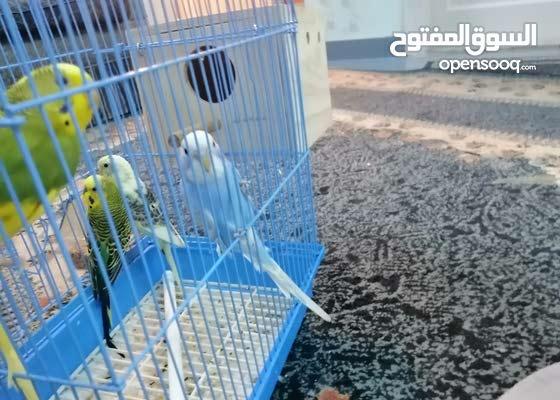 طيور الحب للبيع زوجين