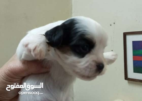 Puppies available For Sale