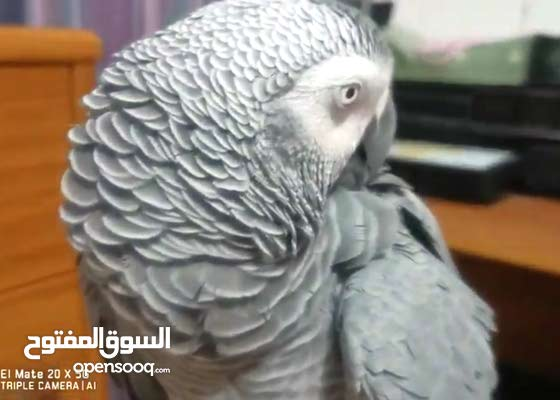 African grey jumbo size, 4 years old fully talking