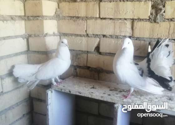 الحمام زينه عرايس الزوج