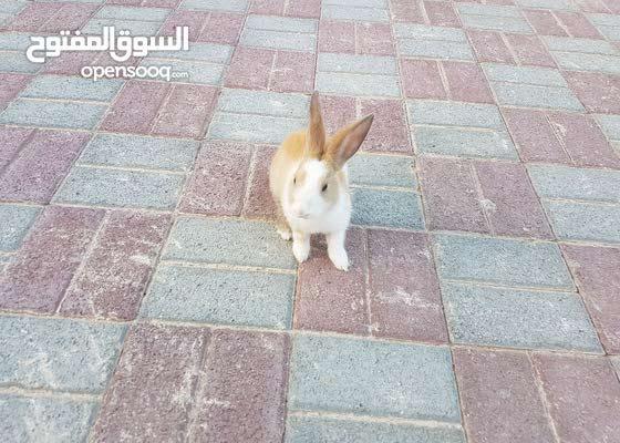بيع ارنب