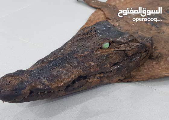 جلد تمساح طبيعي 100% بحالة ممتازة
