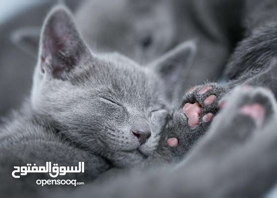 Russian Blue Kitten pair Of them