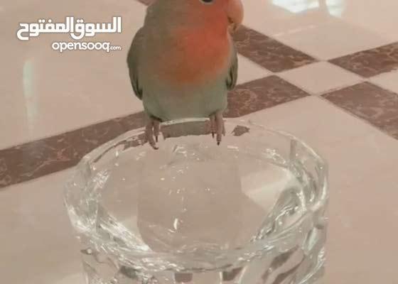LOVE BIRD PARROT FOR SALE