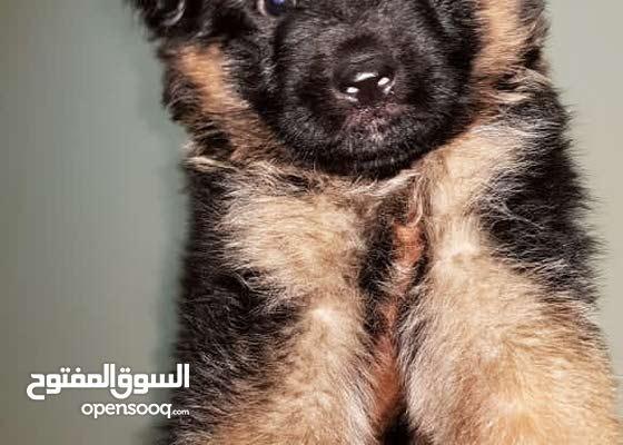 German Shepard Showline Long hair Male Puppy