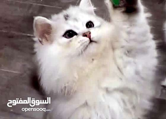 قط للبيع نوعه مكس صومالي مع تشانشيللا ذكر
