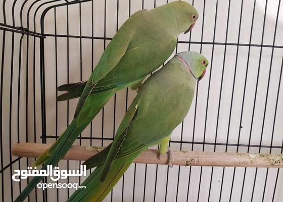 زوج ببغاء الدرة ذكر وانثا Budgerigar Parrots Male and Female Ready For Breeding