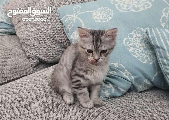 بيرشين لون ماربل مميز ، special marble Persian  cat
