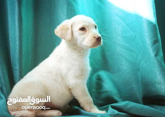 Female Labrador puppies