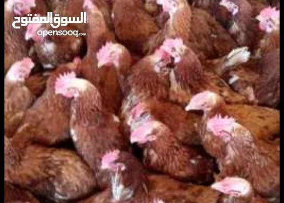 دجاج احمر بياض بي22الف