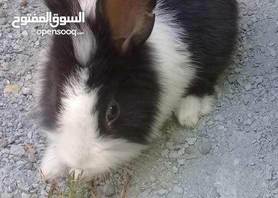 للبيع ارانب هولندي صغار 7