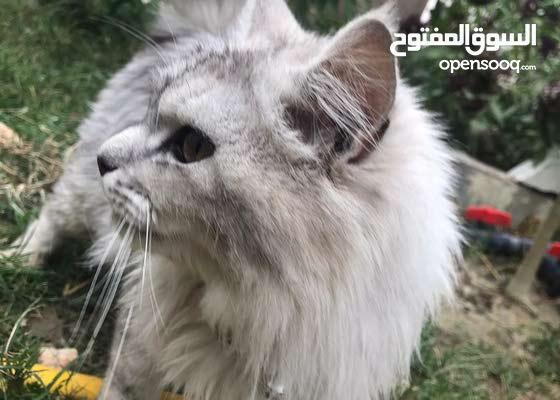 قطة من سلالة امريكية للبيع