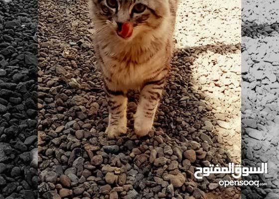 قط شيرازي اليف ونظيف