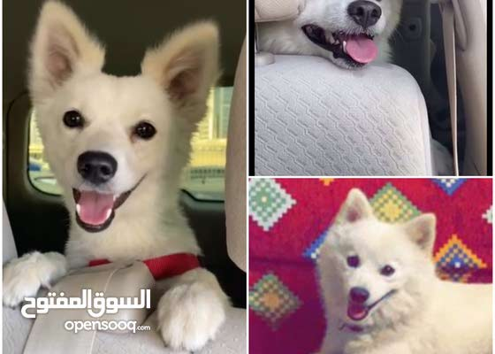 2 loving japanese spitz dogs, male and female, check description