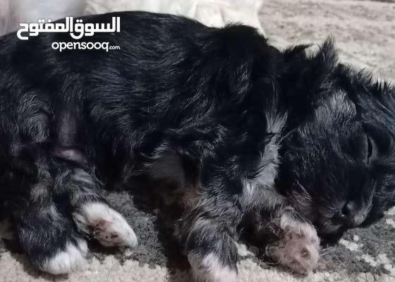 shih tzu puppy 45 days جرو شيتزو 45 يوم