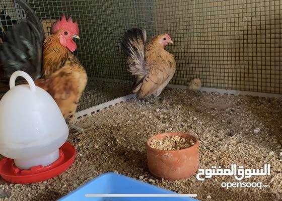 دجاج السيراما