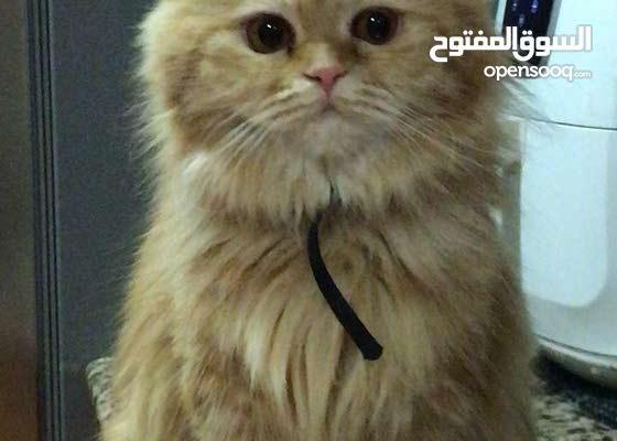 قطه انثى شيرازي للبيع