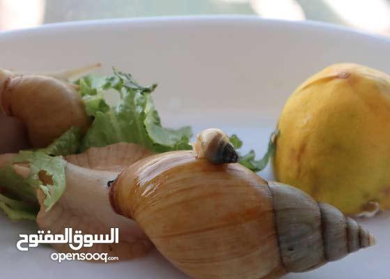 مزرعتين حلزون Land snail farm للبيع أو البدل