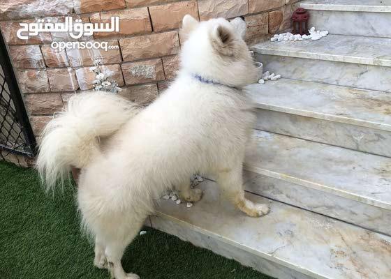 Samoyed for sale