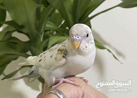 Need a baby conure, crown, or cockatiel parrot