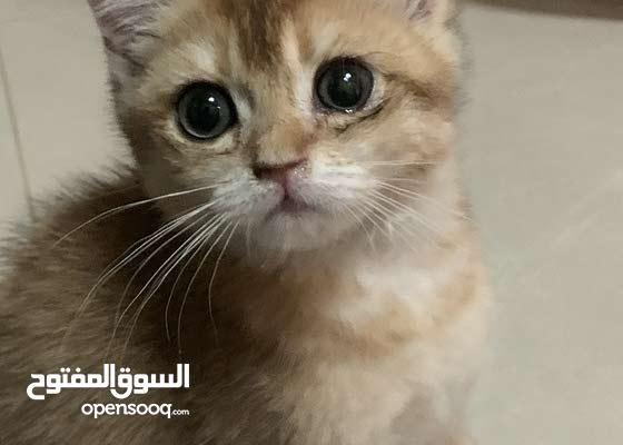قط ضائع في الطوار دبي