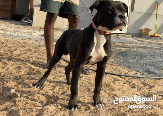 staffordshire bull terrier 5 month old male 3000