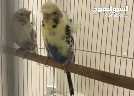 زوجين بادجي رسسف بايد الوان جميله وطيور نظيفة طيور منتجة مع القفص و البياضة